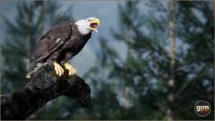 GiM - Bald and Golden Eagle