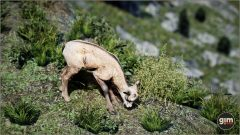 Chamois-Games_in_Motion_Realistic_Animated_3D_Model-10