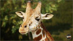 Giraffe_M_01