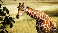 Giraffe_M_02