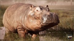Hippopotamus-Games_in_Motion_Realistic_Animated_3D_Model-4
