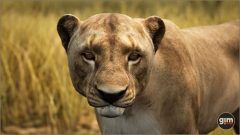 Lion-Games_in_Motion_Realistic_Animated_3D_Model-4