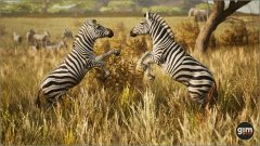 Zebra_Games_in_Motion_Realistic_Animated_3D_Model-4